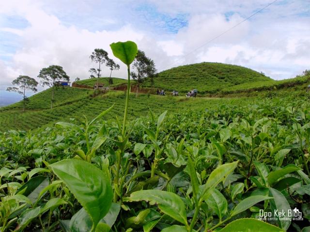 Kebun Teh Kemuning Karanganyar, Jawa Tengah
