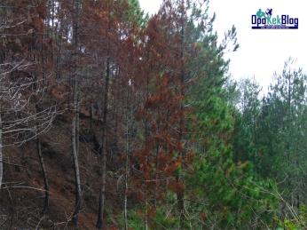 Pinus yang terbakar dan yang masih hijau.
