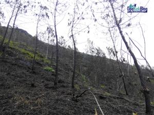 Hutan pinus yang terbakar